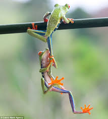 give me a leg up eyed tree frog gets a helping limb from its