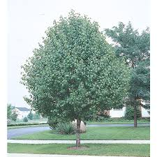 shop 10 25 gallon bradford flowering pear flowering tree l3235