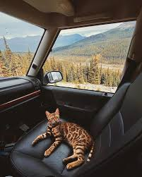 traveling with cats images Adventurous bengal cat explores the beauty of the canadian wilderness jpg