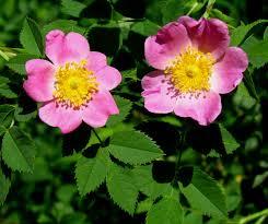 rosa carolina wikipedia