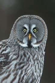 540 best great owl images on pinterest great owl