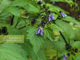 Shoo Fast gap gardens nicandra physalodes shoo fly a fast growing annual