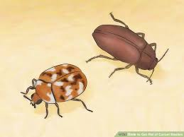 How To Get Rid Of Bed Bugs At Home How To Get Rid Of Carpet Beetles 12 Steps With Pictures