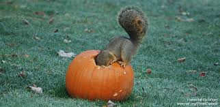 How To Hunt Squirrels In Your Backyard by How To Recycle Halloween Pumpkins For Wildlife The National