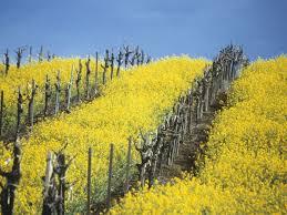 napa valley ground mustard why earthquakes make napa wine taste so science smithsonian