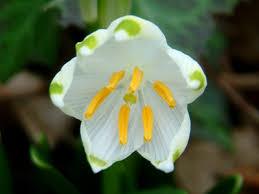 Snowflake Flower - wesley wood dorsetforyou com