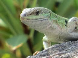 lizards backyard and beyond
