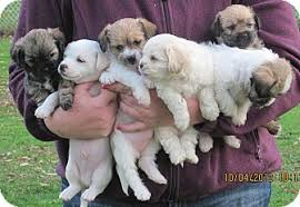 affenpinscher puppies for sale in ohio puppies adopted puppy berea oh shih tzu jack russell