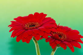 flower pic red flower images pixabay download free pictures