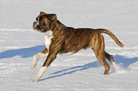 2 types of boxer dogs boxer dog history and health