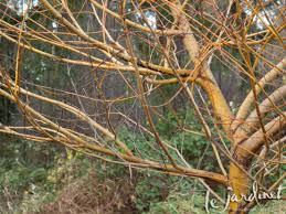 the winter garden u2013 beautiful bark
