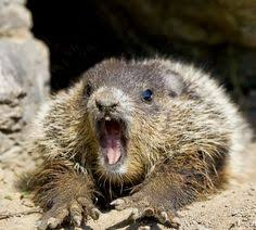 10 cutest groundhog pictures groundhog pictures animal squirrel