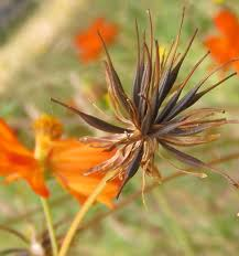 harvest seeds and native plants fall fun saving dye seeds the basics u2026coreopsis cosmos and