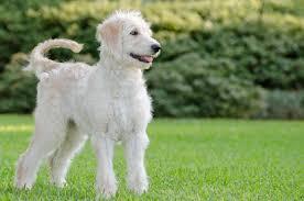 australian shepherd labradoodle labradoodle labrador retriever poodle mix