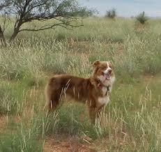 rockin d australian shepherds killian ranch australian shepherds