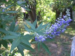 using georgia native plants july ironically chaste tree can be used for fertility holli richey