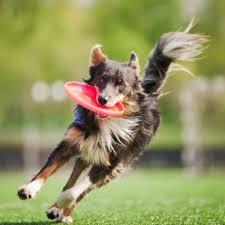 australian shepherd frisbee australian shepherd petstarter