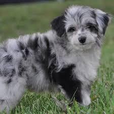 american eskimo dog vs pomeranian comparison of aussiedoodle dog vs pomeranian dog findvs com