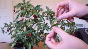 Ready For Spring by Pruning Chilli Plant Ready For Spring Youtube