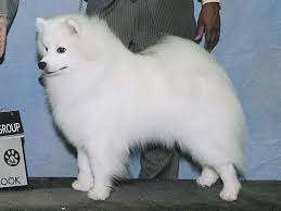 american eskimo dog a z american eskimo dog dog spotters