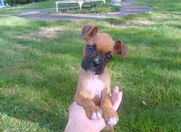 boxer dog breeders near me precious companions