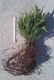 index of trees transplants evergreen transplants