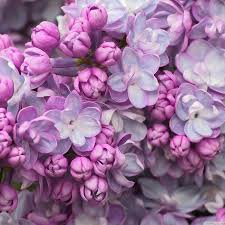 purple lilac lilac flowers live wallpaper android apps on google play