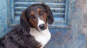 australian shepherd quebec basset u2013australian shepherd mix a face to die for