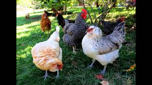 Best Backyard Chicken Breed by Best Backyard Chickens Youtube