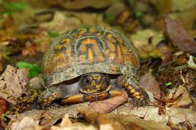 how to know if a box turtle is the right pet for you