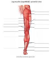 Abdominal Anatomy Quiz Free Anatomy Quiz The Muscles Of The Leg Posterior Image