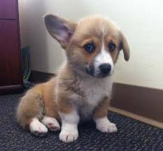 Corgi Puppy Meme - 10 facts about corgis you paw bibly didn t know
