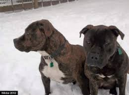 american pitbull terrier in bangalore street dogs in the u s nathan winograd has gone barking mad
