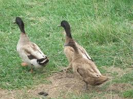missing ducks aren u0027t a laughing matter vomitingchicken com