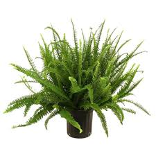 Fern Decor by Delray Plants Kimberly Queen Fern In 8 3 4 In Pot 10kim The