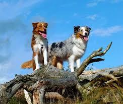 65 lb australian australian shepherd australian shepherd dog breed information
