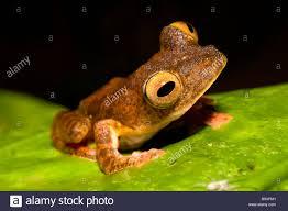 harlequin tree frog rhacophorus pardalis danum valley conservation
