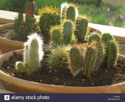 cactus house plants old man cactus care u2013 tips for growing