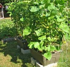 Growing Melons On A Trellis Growing Cucumbers In A Pot Gardener U0027s Supply