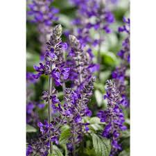 salvia flower proven winners playin the blues salvia live plant blue purple
