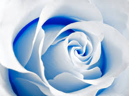 white and blue roses white and blue flowers nature background wallpapers on