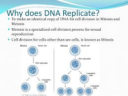 Meiosis Matching Worksheet Answers Dna Replication Review For Matching Worksheet