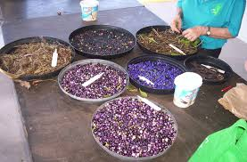 seed collection of australian native plants coolum native nursery seed collecting