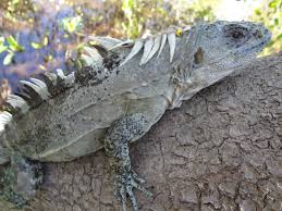 iguana island kanahau research and conservation facility utila the bay