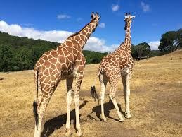 Giraffe Floor L Santa Rosa Safari West A Free Range Zoo Family Adventure