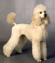 different styles of hair cuts for poodles 53 best doggie dos images on pinterest doggies grooming dogs