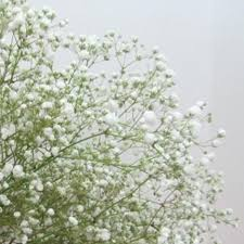baby s breath flowers baby s breath discount bulk flower