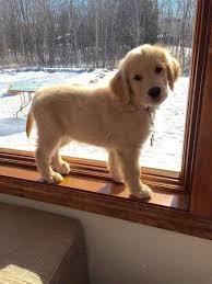 best 25 golden retriever labrador ideas on pinterest adorable