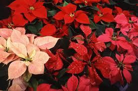 christmas plants plants poinsettia christmas cactus amaryllis the