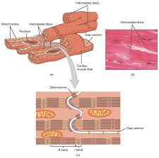 Heart Wall Anatomy Cardiac Muscle And Electrical Activity Anatomy And Physiology